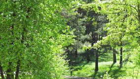 Pappelflaum im Park stock video footage