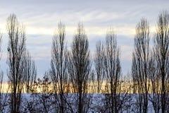 Pappeln bei Sonnenuntergang - Waldminimalismus Lizenzfreie Stockfotos