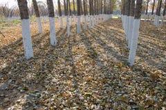 Pappeln im Herbst Stockbild