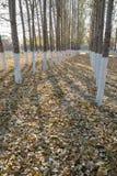 Pappeln im Herbst Lizenzfreies Stockfoto