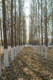 Pappeln im Herbst Lizenzfreie Stockfotografie