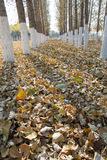 Pappeln im Herbst Stockfotografie