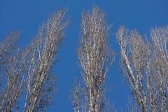 Pappeln im Winter Stockbilder