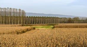 Pappeln und Maisfeld (Nord-Italien) Stockbild