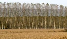 Pappeln und Maisfeld (Nord-Italien) Stockfotos