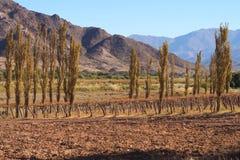 Pappeln und Rebe in der braunen und trockenen Landschaft stockbild