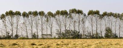 Pappeln und Reisfeld (Nord-Italien) Stockbilder