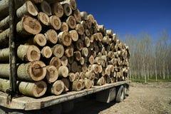 Pappelwaldung Stockbild