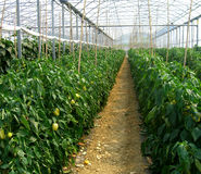 Papper production. Green house papper production in summer time Stock Image