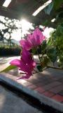 Pappers- blomma, Bougaville blomma Arkivbild