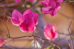 Pappers- blomma för bougainvillea Royaltyfri Bild