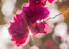 Pappers- blomma för bougainvillea Royaltyfri Fotografi