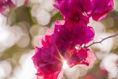 Pappers- blomma för bougainvillea Arkivbild
