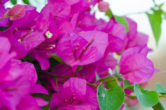 Pappers- blommor Arkivfoto