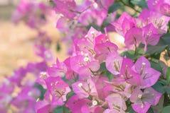 Pappers- blommor eller bougainvillea Arkivbilder