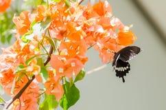 Pappers- blommor eller bougainvillea och fjäril Arkivfoto