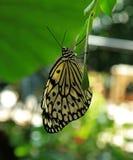 Pappers- drakefjäril på Callaway trädgårdar Royaltyfria Foton