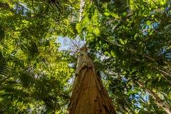Pappers- skällteträd, rösebotaniska trädgårdar, röseregion, Queensland, Australien arkivbild
