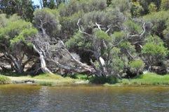 Pappers- skällträd västra Australien Arkivbilder