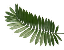 Papppalme oder Zamia furfuracea oder mexikanisches Cycadblatt lokalisiert auf weißem Hintergrund stockbild