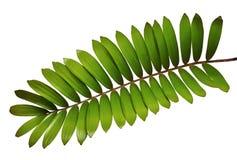 Papppalme oder Zamia furfuracea oder mexikanisches Cycadblatt lokalisiert auf weißem Hintergrund lizenzfreies stockbild
