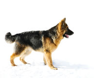 Pappy of german shepherd dog Stock Photo