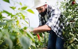 Paprica caucasica di raccolto dell'agricoltore dal suo giardino della serra Immagini Stock