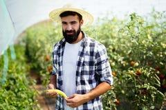 Paprica caucasica di raccolto dell'agricoltore dal suo giardino della serra Immagine Stock