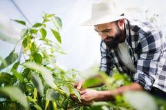 Paprica caucasica di raccolto dell'agricoltore dal suo giardino della serra Immagini Stock Libere da Diritti