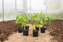 Paprica di parecchie piantine (capsico, peperoni) in piccolo Greenhous fotografie stock libere da diritti
