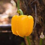 Paprica gialla che cresce su una pianta Fotografia Stock Libera da Diritti