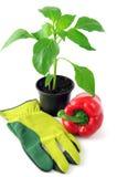 Paprica planta i blomkruka med trädgårds- handskar Fotografering för Bildbyråer