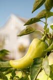 Paprika amarillo maduro que crece en arbusto en el jardín Fotos de archivo libres de regalías