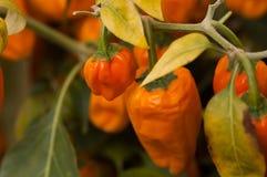 Paprika anaranjada fotografía de archivo libre de regalías