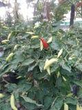 Paprika auf dem Garten Stockbilder