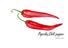 Paprika or Chili pepper  .Hand drawn watercolor painting on white background.Vector illustration Royalty Free Stock Image