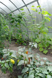 Paprika and cucumbers grow in the greenhouse Royalty Free Stock Photography