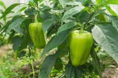A paprika da pimenta doce em um ramo cresce em uma estufa Imagens de Stock
