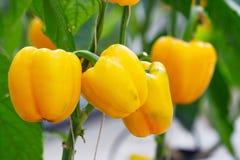 Paprika doux Image libre de droits