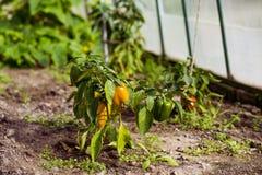 Paprika in een serre Royalty-vrije Stock Foto's