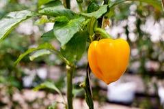 Paprika in garden Stock Photos