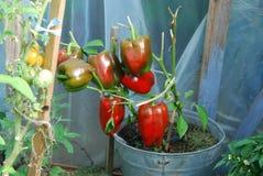 Paprika greenhouses Royalty Free Stock Image