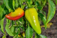 Paprika im Garten Lizenzfreies Stockbild