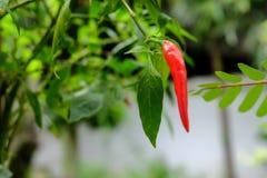 Paprika im Garten organisch Stockfotos
