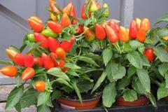 Paprika im Topf stockfoto