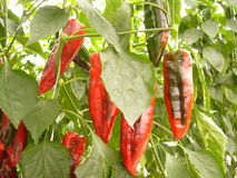 Paprika. Paprika, pepper, vegetables, red, ripening. Growing peppers in greenhouses. Growing of vegetables and agriculture. shopping, natural Royalty Free Stock Images