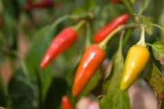 Paprika-Pfeffer stockfotografie