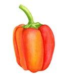 Paprika, pimienta pintada a mano aislada de la acuarela stock de ilustración