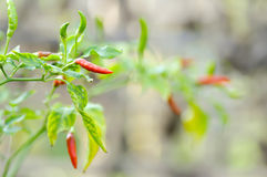 Paprika plant ,chili plant or capsicum frutescens Stock Photography
