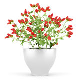 Paprika plant in pot isolated on white Royalty Free Stock Photography